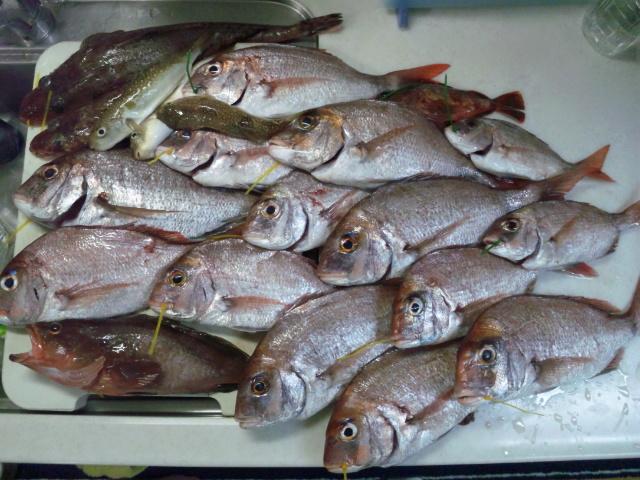 真鯛大漁120815